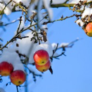 Red apples on tree, first snow and blue sky